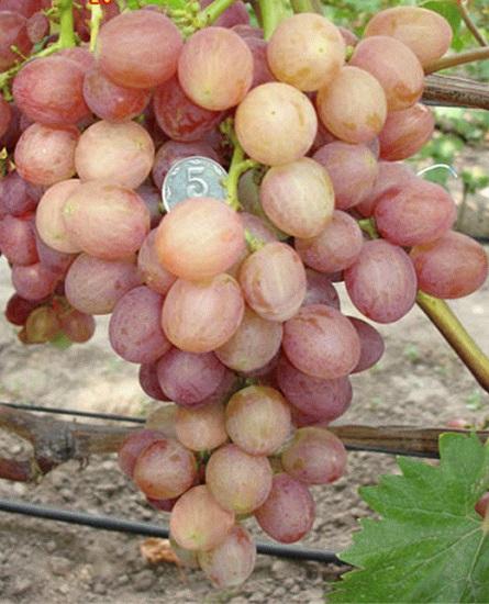 Виноград прометей