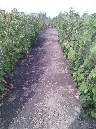 Размещение винограда и уход за ним